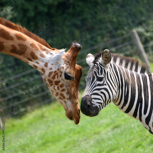 Fond de hotte en verre imprimé Zebra zèbre et girafe