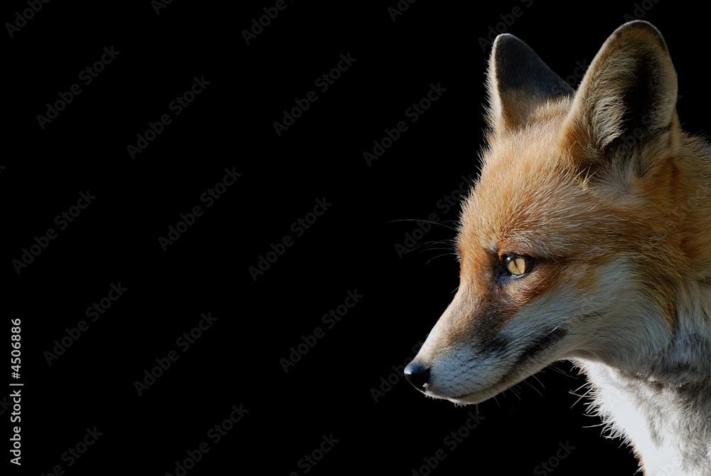 Fototapety, obrazy: Fuchs