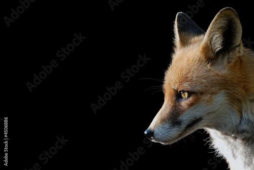 Valokuva  Fuchs