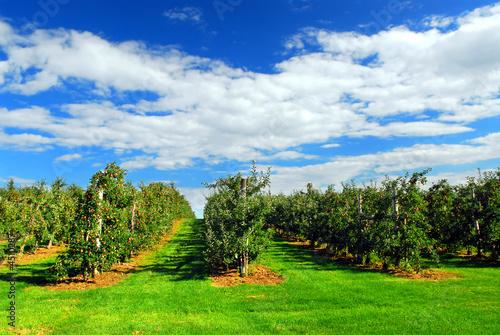 Apple orchard Fototapeta