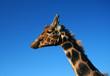 ZOO giraffe in left profile.