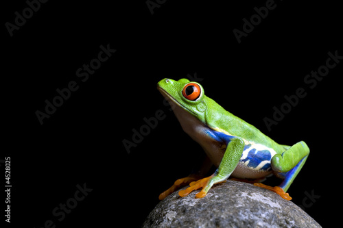 Tuinposter Kikker frog on rock isolated black