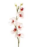 Biała orchidea na wyizolowanym tle