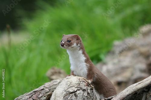 Photo  Weasel