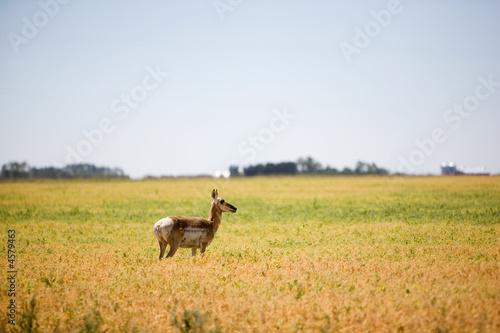 Poster Cerf Prairie Antelope