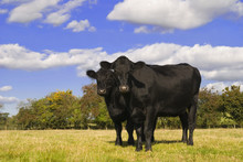 Two Black Cows In A Field Facing Camera