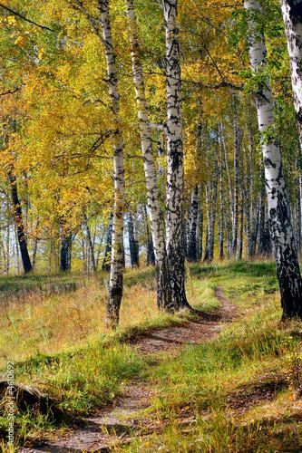 Spoed Fotobehang Berkbosje autumn forest
