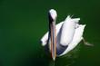 canvas print picture - pelikan close up