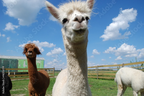 Alpacas and blue Sky