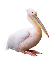 Great White Pelican Isolated O...