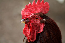 Rhode Island Red Rooster Closeup,bird,chicken