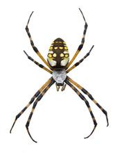 Garden Spider-Isolated