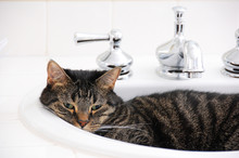 Tabby Cat In White Bathroom Sink With Chrome Faucet