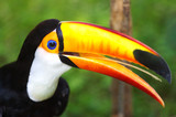 Fototapeta Animals - Toco Toucans