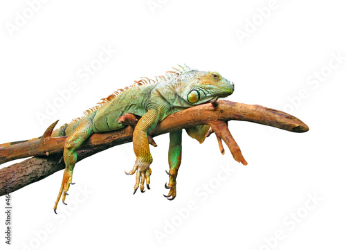 Spoed Foto op Canvas Kameleon Lazy guana lying on branch isolated in white
