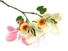 Fleurs De Bauhinia, Arbre Orchidée