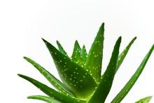 Aloe Vera-isoliert