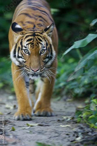 Foto-Kissen premium - Malaysian Tiger (von Kitch Bain)