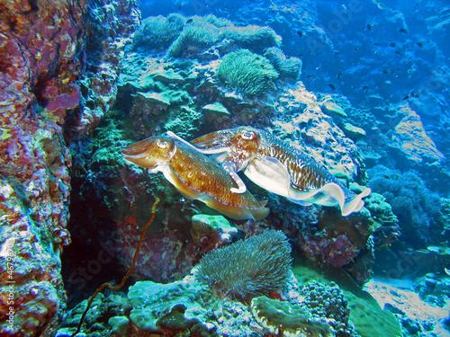 Fototapeta Mating Cuttlefish obraz na płótnie