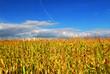 canvas print picture Corn field