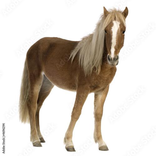 Fotomural Shetland pony (2 years)