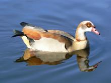 Egyptian Goose Swimming