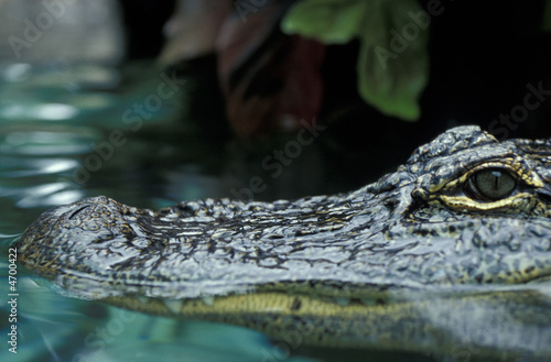 Printed kitchen splashbacks Crocodile Krokodil - Kaiman