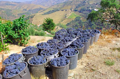 Fotografie, Obraz  Portugal, Douro valley, Pinhao: Grape harvest