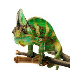 Fototapeta chameleon