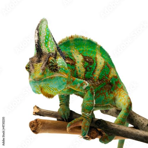 In de dag Kameleon chameleon
