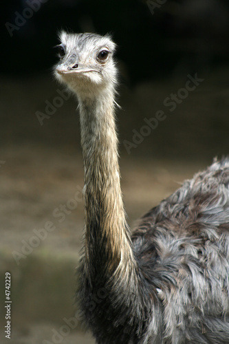 Fotobehang Struisvogel Nandu