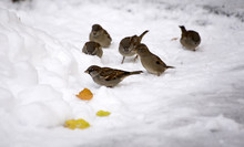 Sparrows On Snow
