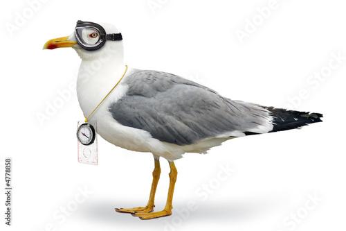 Venturesome seagull
