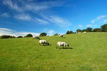 Sheep On North Yorkshire Moors Hillside