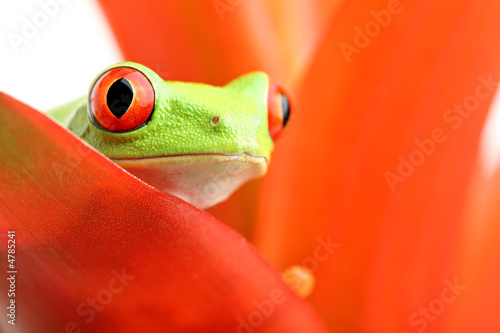 Poster Grenouille red-eyed tree frog on plant