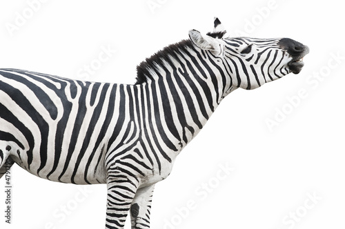 Aluminium Prints Zebra Zebra singing isolated over white background