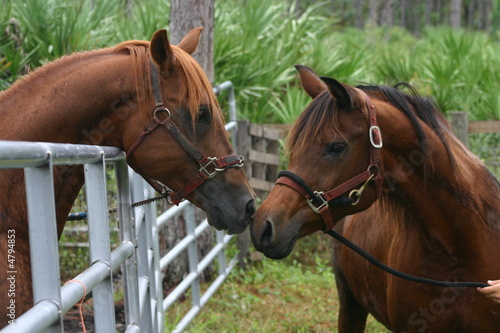 Photo  arabian horses in love