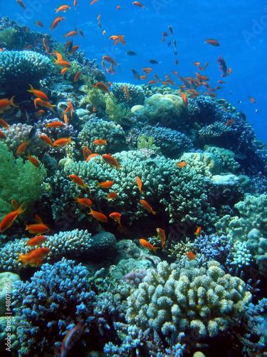 Staande foto Koraalriffen Goldfish City