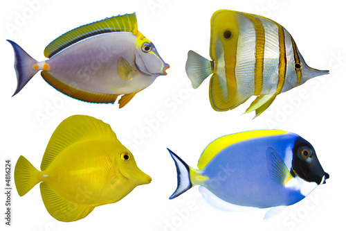 Fotografie, Obraz  Four Tropical Fishes isolated on white