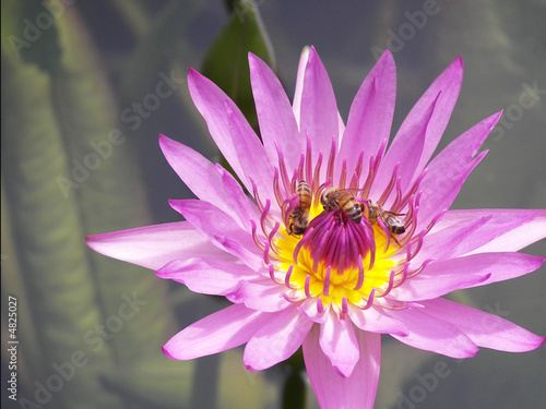 Foto op Canvas Lotusbloem Three bees on a water lily