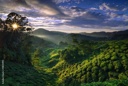 Dekoracja na wymiar mglisty-plantacji-herbaty-o-swicie