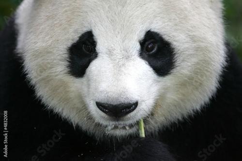 Fotografia, Obraz  Giant Panda Bear