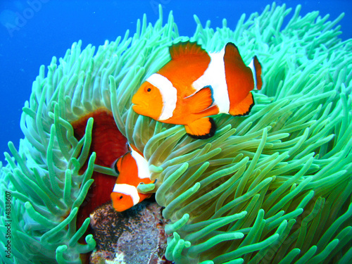 Fotografie, Tablou  Tropical clown fish family