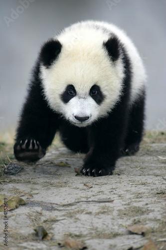 Deurstickers Panda Giant Panda