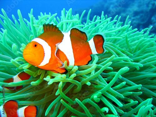 Canvas Print Tropical clown fish family