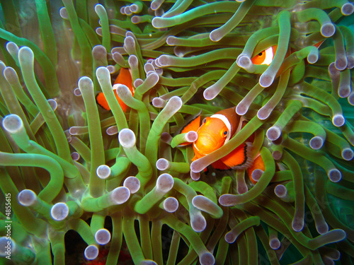 Photo  Tropical clown fish