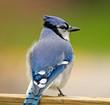Blue Jay on deck rail.