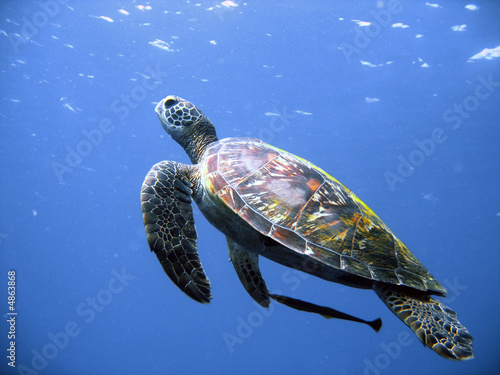 Foto op Canvas Schildpad Green turtle in flight