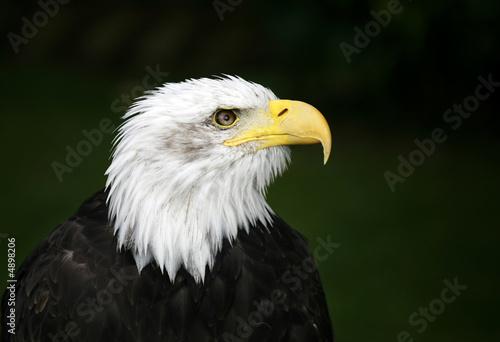 In de dag Eagle Bald Eagle