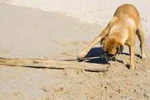 Boxer Dog At The Beach.